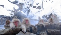 snow_monkey
